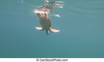 Turtle reaching surface and starting to descent - Detailed...