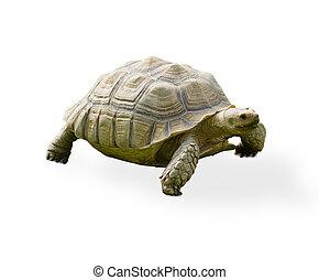 turtle, reptil