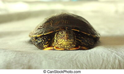 river turtle crawls on the table