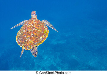 Turtle sea at Similan