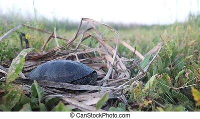 turtle sits among marsh vegetation, wild nature