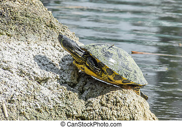 Turtle sitting on a stone in a lake enjoying the sun