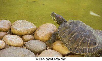 Turtle sitting on stones - Small turtle sitting on stones in...