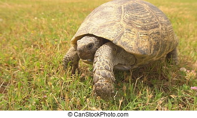Turtle slowly moving through the scene on green grass.