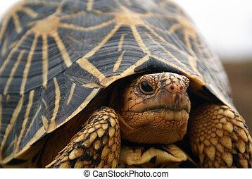 Turtle - Star turtle