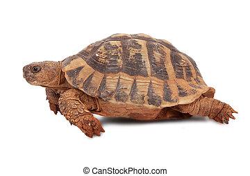 Turtle - turtle isolated on white background