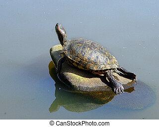 Turtle sunbathing on a rock