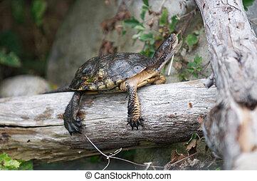 Turtle suns itself on a log