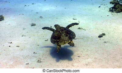 Turtle swimming in coral reef, Red sea