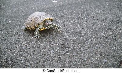 Turtle. Turtle crawling on asphalt