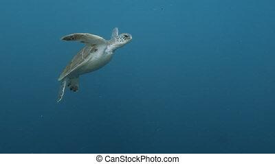 Turtle underwater shot - A medium shot of a turtle...