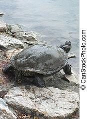 Turtle walking on the rock