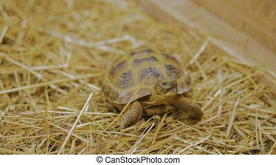 Turtle yawn and slowly crawl forward at zoo