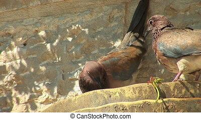 turtledove 2