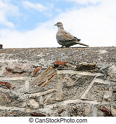 turtledove bird on stone wall of patio in Athens - travel to...