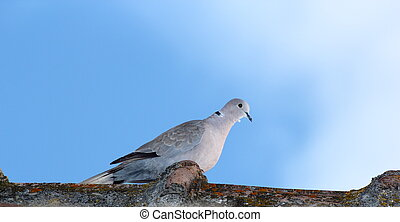 turtledove in top of the roof