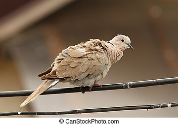turtledove on electric wire