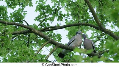 Turtledoves kissing on the tree branch on a beautiful spring...