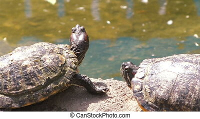 Turtles are basking in the sun. - Two turtles bask in the...