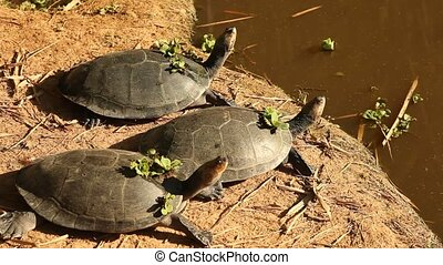 Turtles at Amazon river, south america, peru