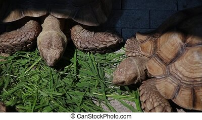 Turtles eat grass under the bright sun. - Turtles eat grass...