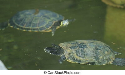 Turtles in the Water