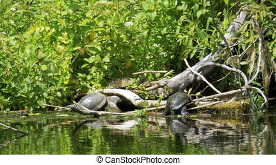 Turtles sit on a log in the river. Turtle relaxing on wooden...