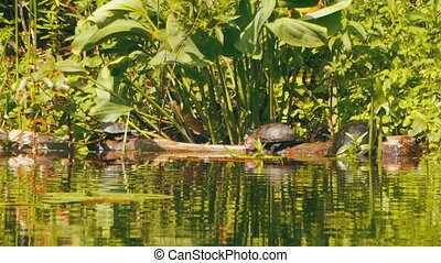 Turtles Sit on a Log in the River - Turtles sit on a log in...