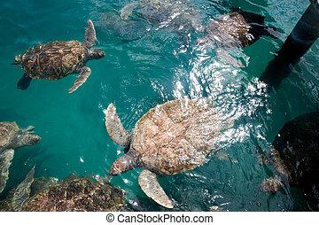 Turtles in Grand Cayman Turtle Farm