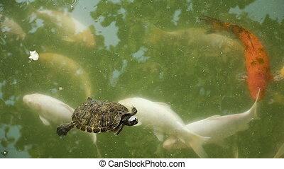 Turtles swim with fish