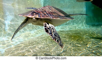 Turtles swimming underwater - A colony of colorfully brown...