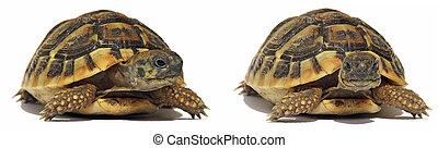 Turtles Tortoise - Testudo hermanni tortoiseon isolated on...