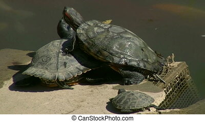 turtles - Turtles resting in the sun on the pond