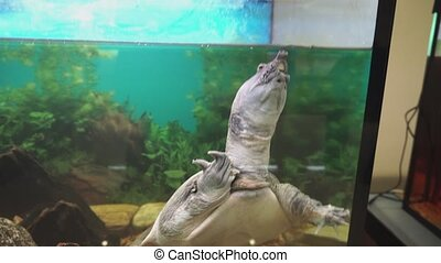 Turtles world. Chinese softshell turtle trionyx in...