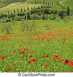 tuscan, idílio, em, primavera