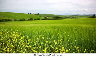 Tuscan landscape with a field of wheat and yellow flowers of a colza
