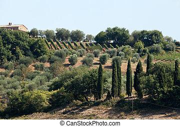 tuscan, landschaftsbild, mit, weinberge, olivenbäume, und,...