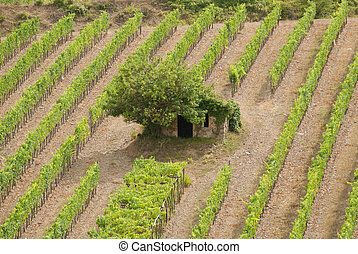 Tuscan vineyard with small house.