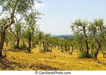 Tuscany - Chianti vineyards and olive trees,