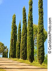 Tuscany cypress 01