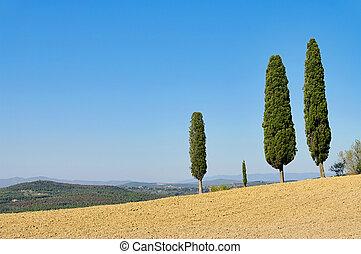 Tuscany cypress 04