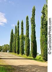 Tuscany cypress