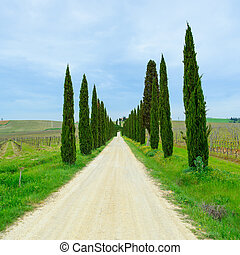 Cypress Trees rows and a white road typical landscape in Chianti region land near Siena, Tuscany, Italy, Europe.