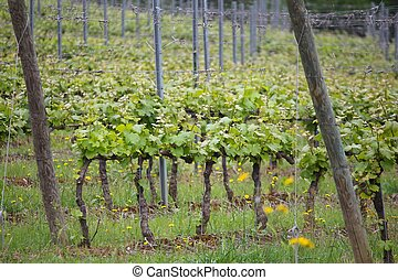 Tuscany vine