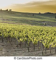 Tuscany vineyards at sunset