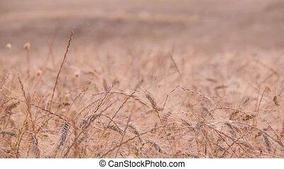 Tuscany wheat field