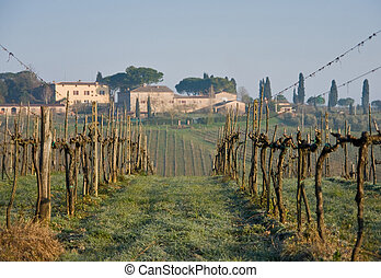 tuscany, winogrona