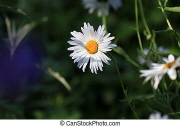 tusensköna, blomma