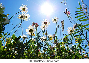 tusensköna, blomma, in, sommar, med, blåttsky