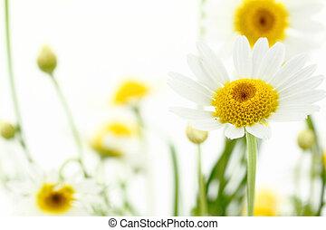 tusensköna, blomma, in, vit, mjuk, bakgrund